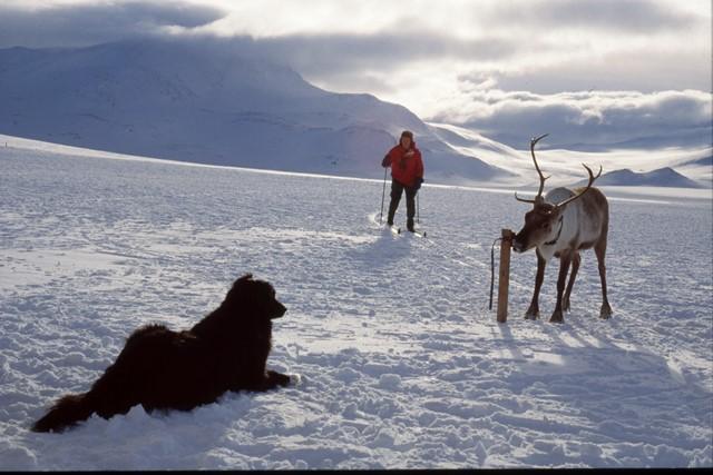 Hund og rein Lendfjellet Lomseggen